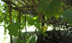 Ripening grapes. Picture courtesy of 45 Parallel Consulting LLC.