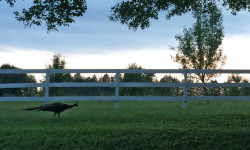 Resident peacock on a stroll at dusk. Picture courtesy of 45 Parallel Consulting LLC.