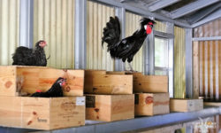 Activity in the chicken coop. Picture courtesy of 45 Parallel Consulting LLC.