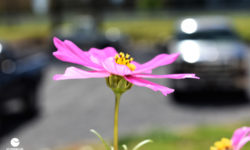 Pink cosmos in bloom. Picture courtesy of 45 Parallel Consulting LLC.