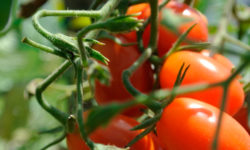 Fresh tomatoes anyone? Picture courtesy of 45 Parallel Consulting LLC.