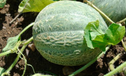 Melons on the vine. Picture courtesy of 45 Parallel Consulting LLC.