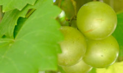 Muscadine grapes ready for picking. Picture courtesy of 45 Parallel Consulting LLC.