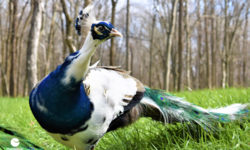 One of the estate's harlequin peacocks. Picture courtesy of 45 Parallel Consulting LLC.
