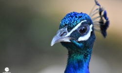 Stunning close up of our indigo peacock. Picture courtesy of 45 Parallel Consulting LLC.