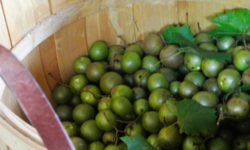 Just picked muscadine grapes. Picture courtesy of 45 Parallel Consulting LLC.